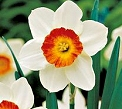 Spring Flower Bulbs - Plant your daffodil, tulip and snowdrop bulbs soon for a splash of spring colour.